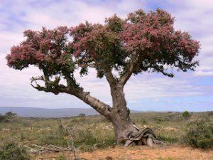 Elephant bush in bloom